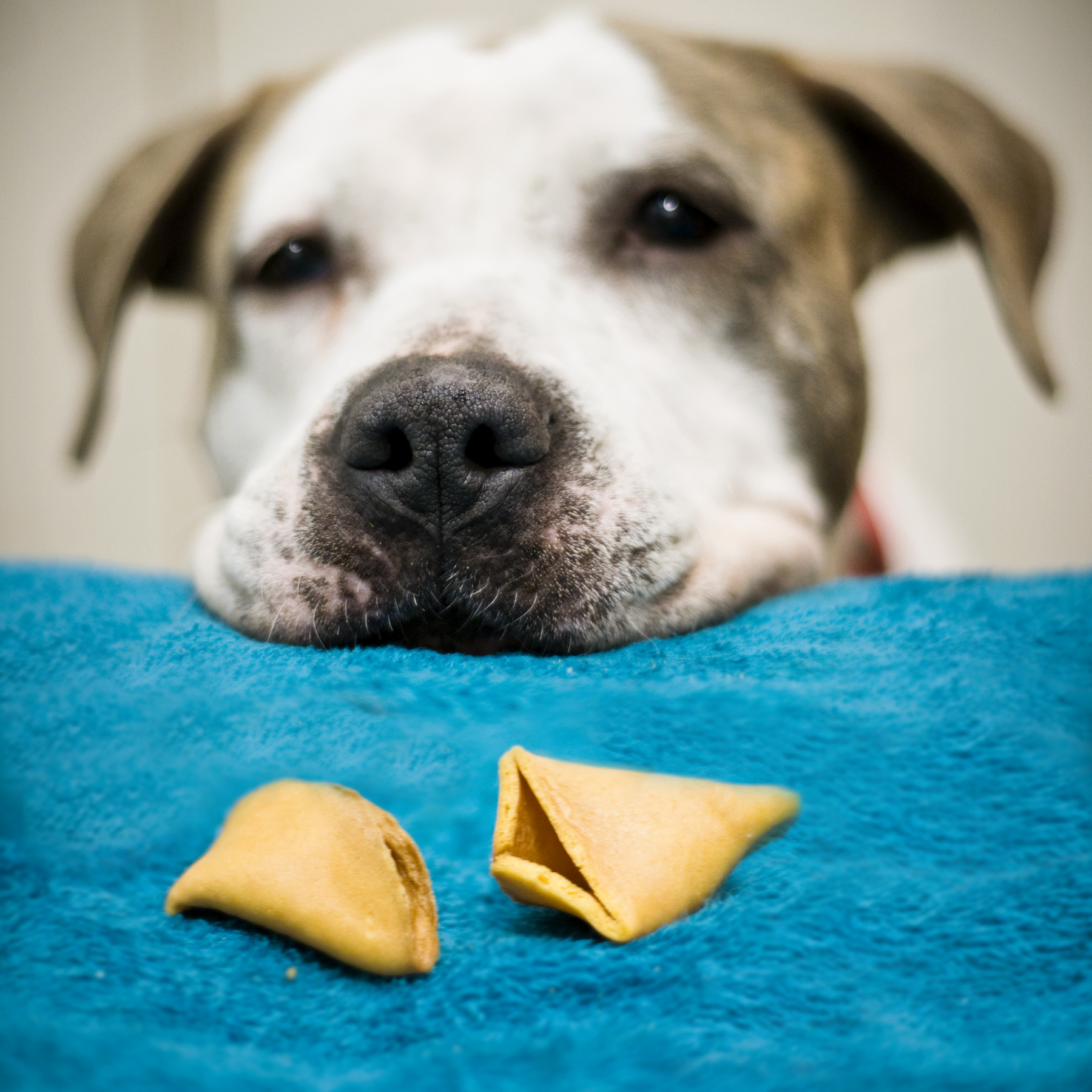 Can My Dog Eat Fortune Cookies