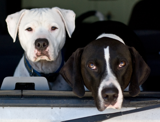 Game Bred Pit Bull Dogs