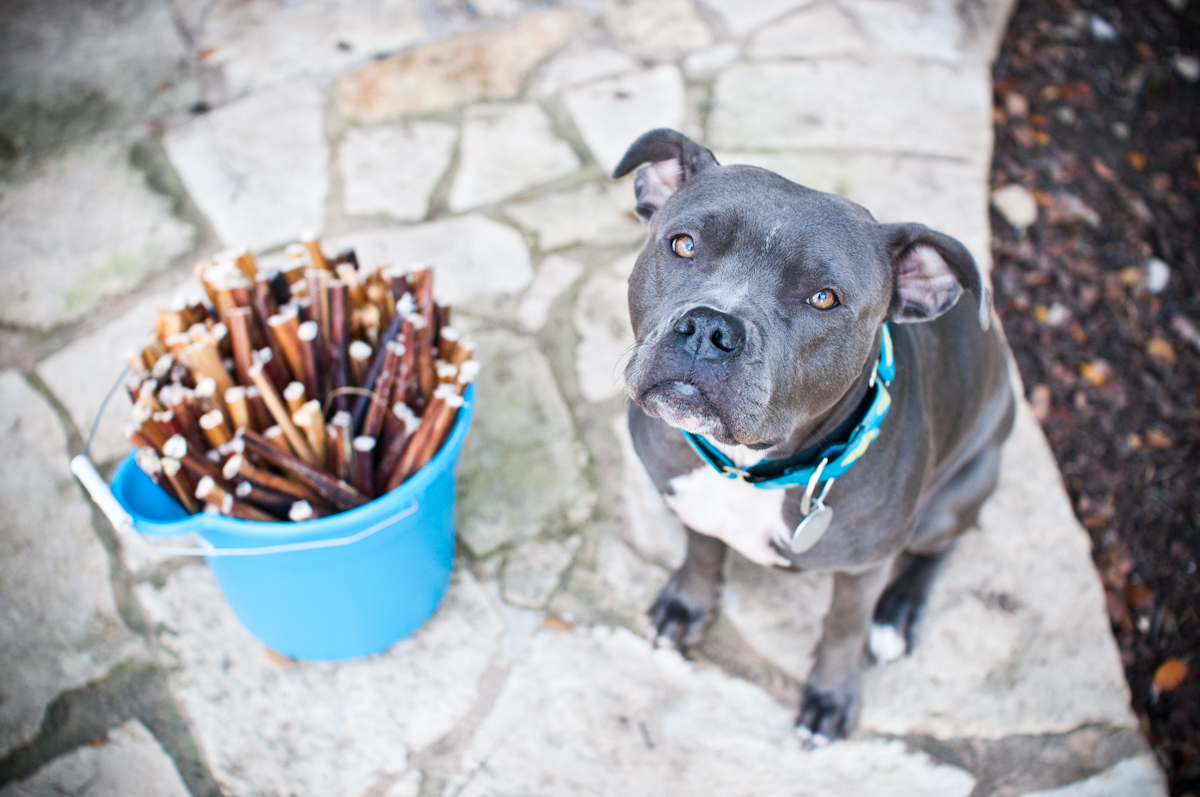 celebrating the holidays with 200 bully sticks love and a six foot leash. Black Bedroom Furniture Sets. Home Design Ideas